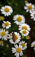 bee collects pollen from daisies
