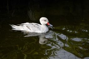 wild white duck in the pond