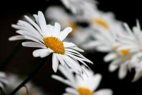 macro photo of yellow and white chamomile summer flower
