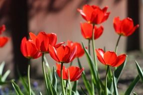 spring red tulips in the green garden