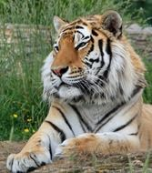 Siberian tiger is lying on the ground
