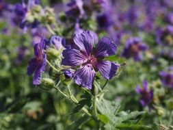 cranesbill flower in the greenhouse