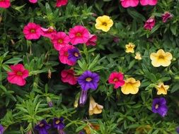 petunia colorful flowers violet