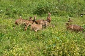 spotted deers herd in wild