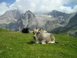 cows resting on pasture at scenic mountains, landscape