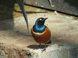superb starling in the wild
