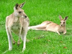 Two kangaroos in the reserve in Australia