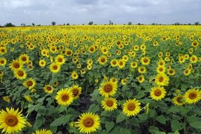 Field of sunflowers under a cloudy sky