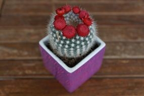 cactus with red blooms in purple pot