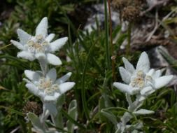 White edelweiss among the green grass
