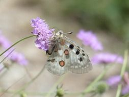 White spotted butterfly on a violet flower