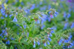 Blue flowers of the comfrey