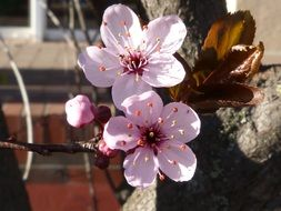 Pink flowers on a cherry branch in spring