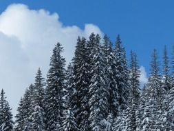 winter snow fir trees