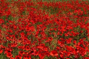 lots of red poppies on a summer field