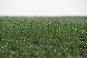 Green grass in dew drops