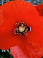 top view on red poppy