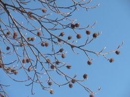 dried seed pods on a tree branch