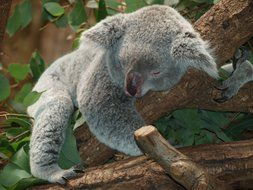 lazy koala resting on tree, australia