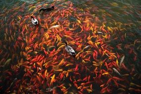 red koi fish in the pond