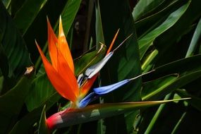 colorful flower bird of paradise