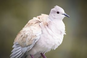 White dove close-up