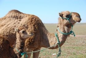 morocco camel and her child