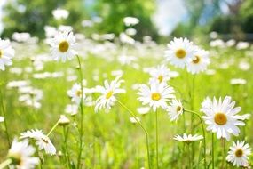 white daisies sunny field