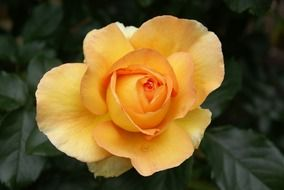 rose yellow flower nature bloom