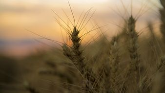 wheat ears on a blurred sunset background