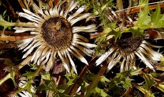 dried dead flowers carline thistle