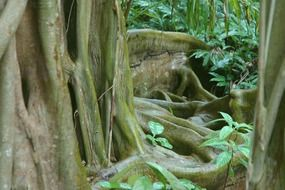 jungle tree roots in Belize