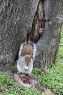 fluffy squirrel is sitting and eating something
