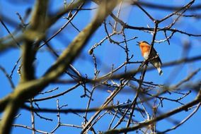 Songbird on branches against the blue sky
