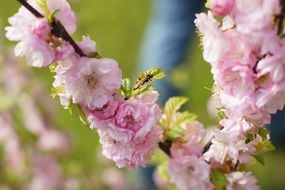 flowering japanese cherry tree