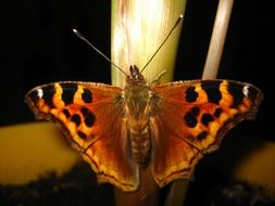 butterfly with brown wings with black spots