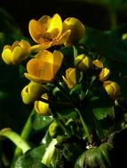 yellow caltha palustris grow