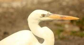 portrait of a white egret in nature