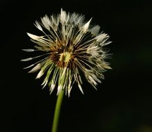 thin dandelion on a black background