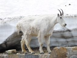 mountain goat in the glacier national park