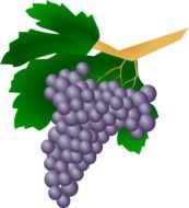 Drawing of a bunch of black grapes