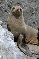 fur seal in New Zealand