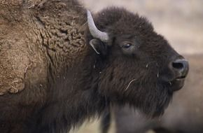 american bison head close up