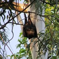 black bat is hanging on a branch