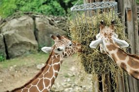 two giraffes eat hay at the zoo