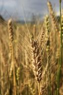 agriculture cereals close up