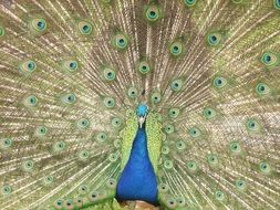 peacock displaying its tail