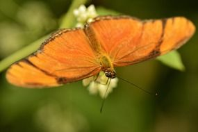 Close-up of the orange butterfly