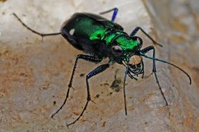 Macro photo of the tiger beetle