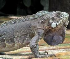 matchless iguana lizard animal